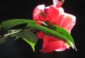 ⑥陽に映える山茶花