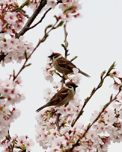 3☆②IMG_6249スズメ 桜とコラボ[2]