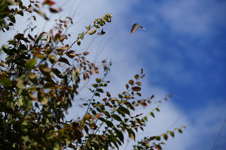 飛ぶ落ち葉