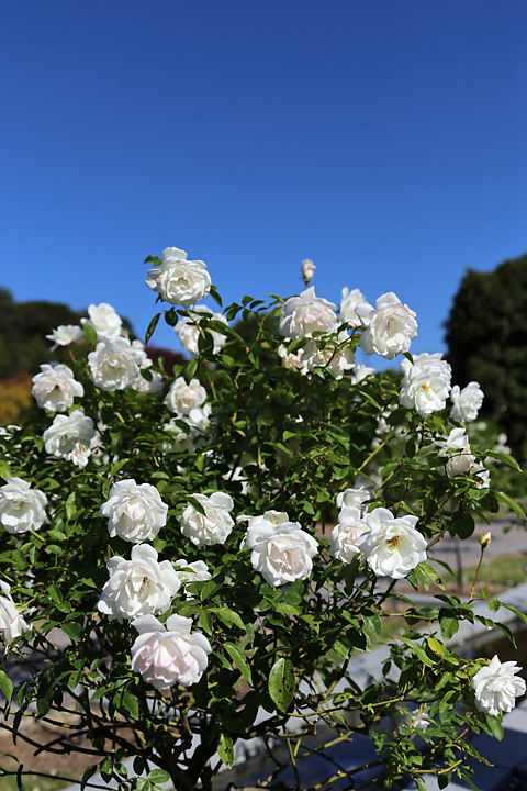 青空に白いバラ