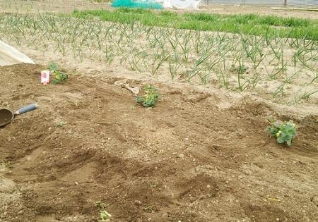 イチゴ苗 定植