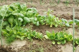 11月播種 小蕪初収穫