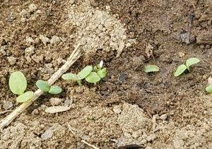 サラダ菜発芽