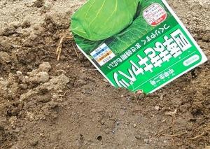 キャベツ3月播種