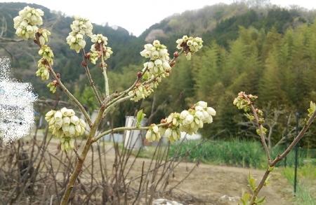リンダブルー 開花
