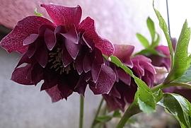 あクリスマスローズ紫
