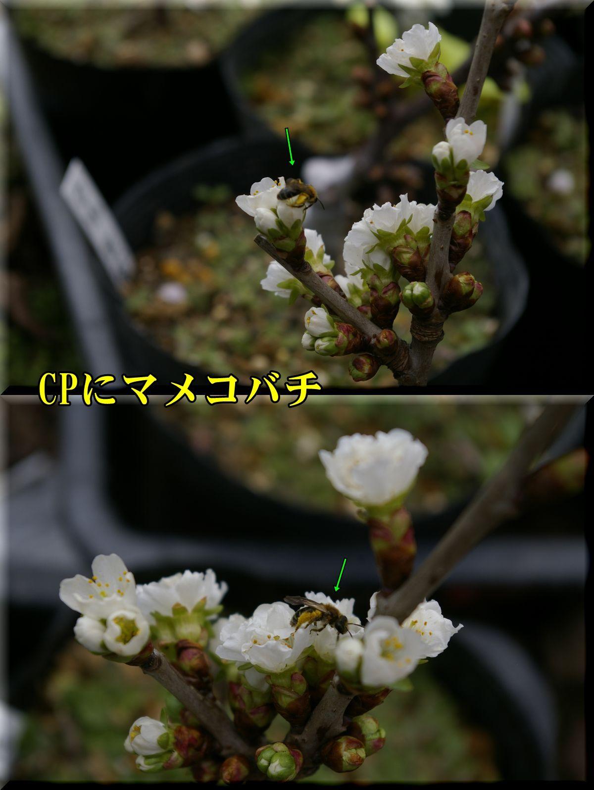 1O_mameko160329_071.jpg