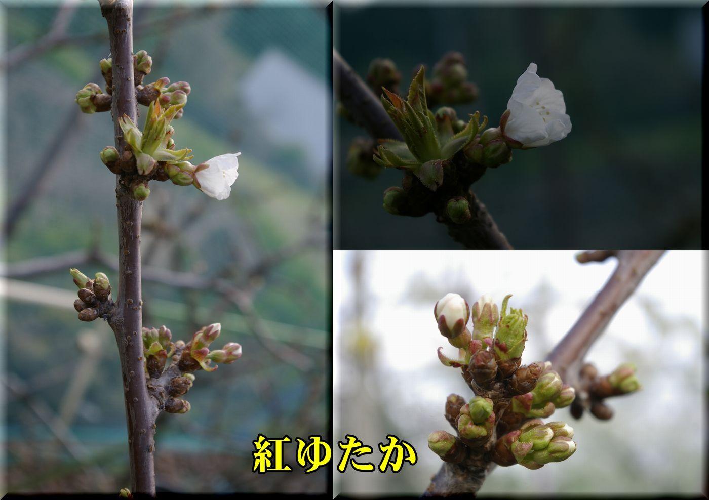1beniyutaka160402_022.jpg