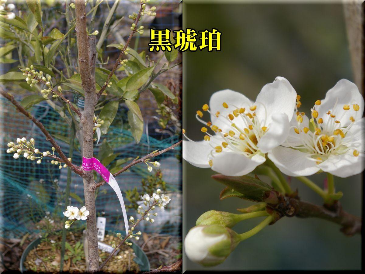 1kurokohaku160318_017.jpg