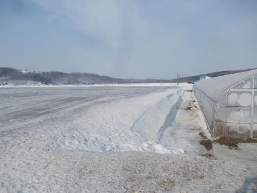 20160318_融雪剤散布後の麦畑