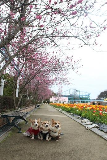 香椎花園2 2016-3-13-5