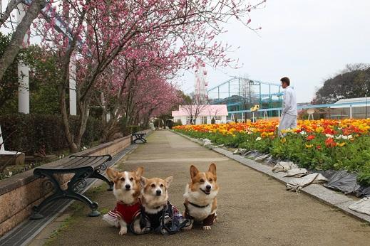 香椎花園2 2016-3-13-6