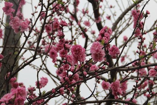香椎花園2 2016-3-13-7