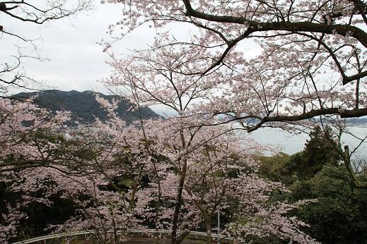 桜 2016-4-4-1