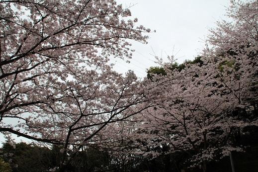 桜 2016-4-4-5