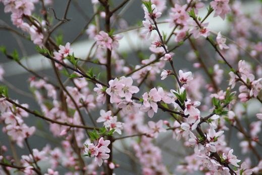 桜 2016-4-4-7