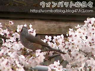 桜と小鳥03