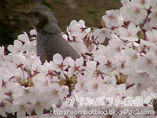桜と小鳥01