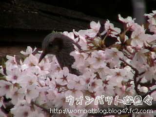 桜と小鳥02