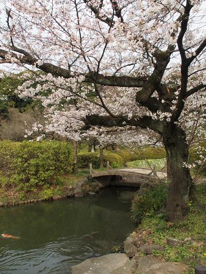 P3310696 石橋と桜
