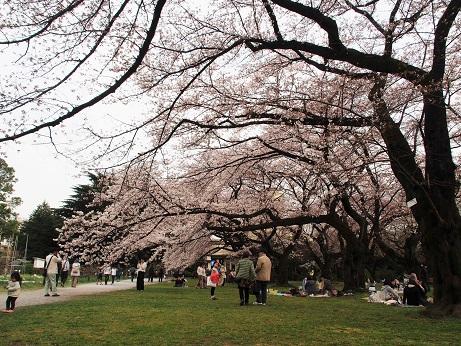 P3310728 桜満開