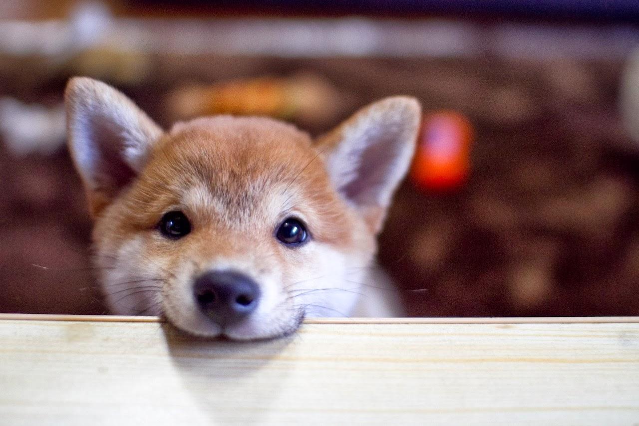 shia-inu-puppy-looking-adorable.jpg