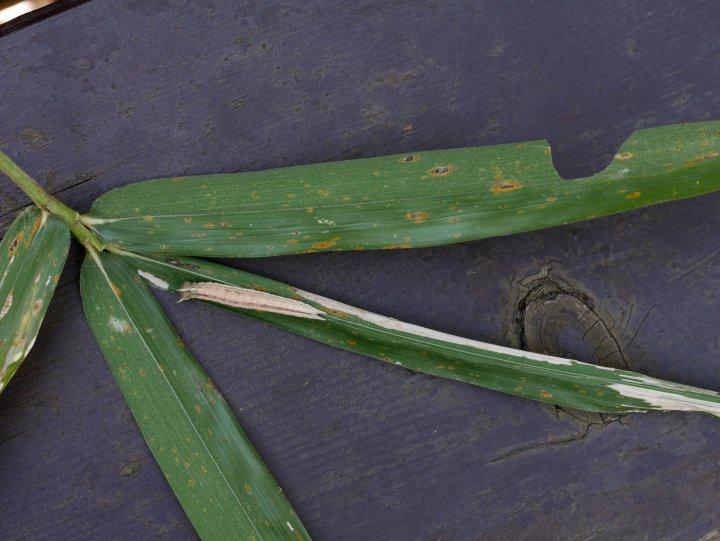 クロヒカゲ幼虫24mm@アズマネザサ-2016-03-29四季の森-P1250704