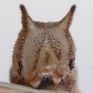 384-クロヒカゲ幼虫24mm-2016-03-29四季の森-P1250752