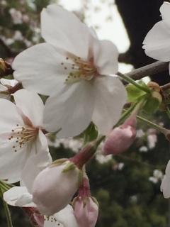 上野公園の桜_005