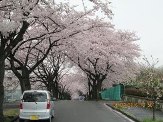 フルーツパークの桜_005