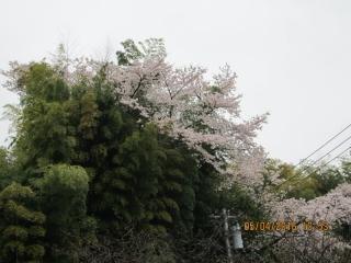 フルーツパークの桜_002