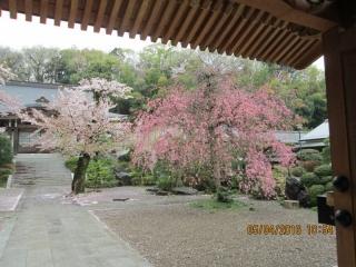 フルーツパークの桜_004