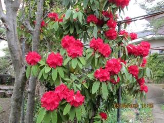 フルーツパークの桜_008