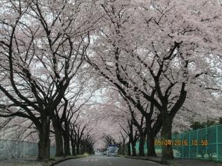 フルーツパークの桜_006