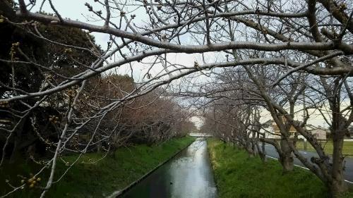 木屋川桜3.26.2