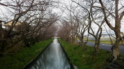 木屋川桜3.16