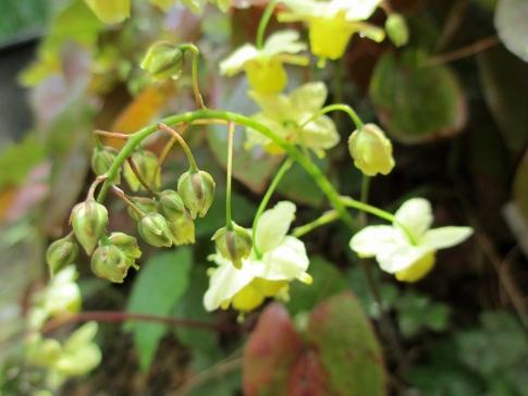 庭の山野草 005-001