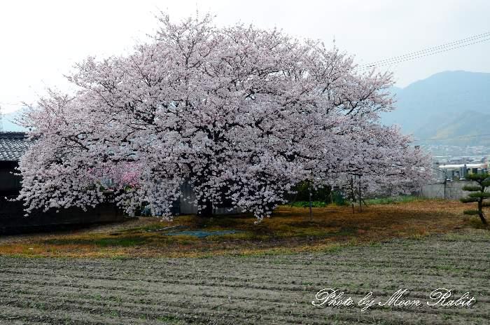 一本桜 今井交差点