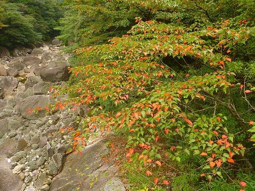 ヤクシマオナガカエデの紅葉(10月11日)