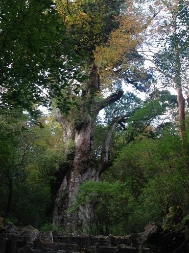 色づく縄文杉周りの木々