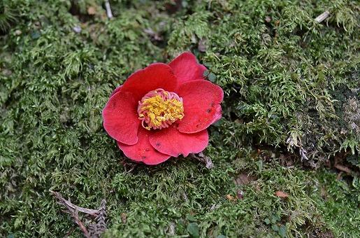 ヤクシマツバキの花