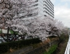 繁農川の桜