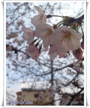 maesakura1a.jpg