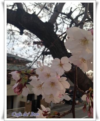 maesakura3a.jpg