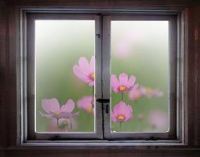 窓からコスモス1