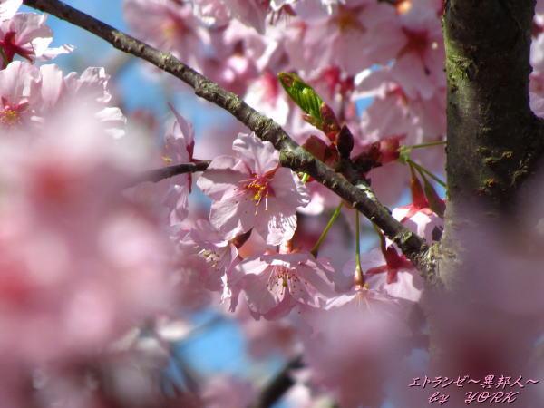 3711早咲きの桜160320.jpg