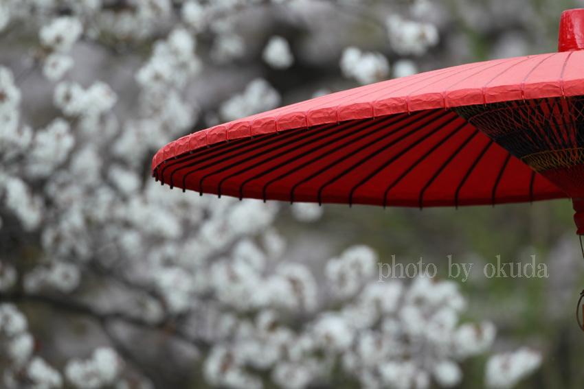 サクラと赤い傘