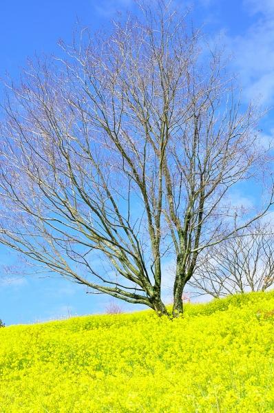 1犬寄峠の黄色い丘16.03.14