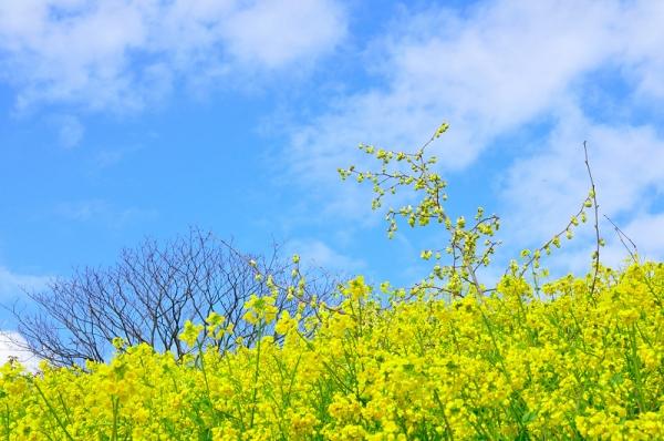 2犬寄峠の黄色い丘16.03.14