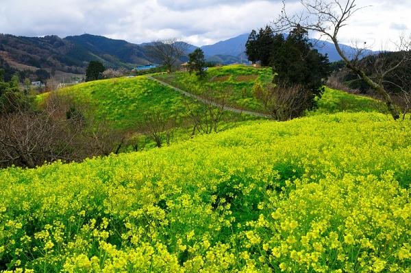 3犬寄峠の黄色い丘16.03.14